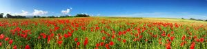 PoppyField-Full-Size